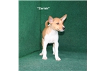 Picture of Zariah - Red Basenji Female AKC