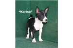 Picture of Karina -  Black & White AKC Female Basenji