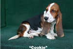 Picture of Cookie - Tri Colored FemaleAKC Basset