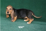 Picture of Elf- Black & TanAKC Male Basset