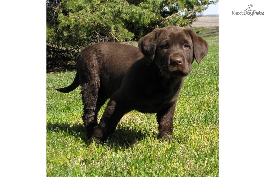 Labrador Retriever puppy for sale near Fargo / Moorhead ...