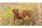 Labrador Retriever for