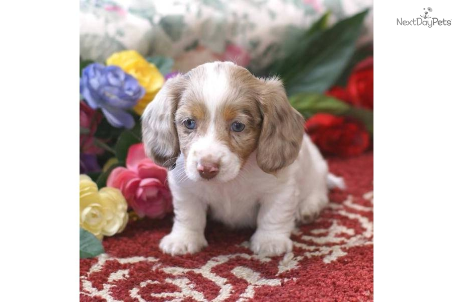 Meet LONG HAIR ISABELLA a cute Dachshund, Mini puppy for sale for ...