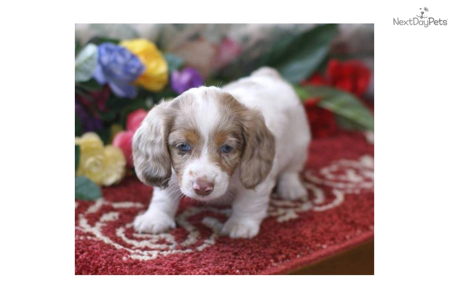 Dachshund, Mini puppy for sale near Spokane / Coeur D'alene ...