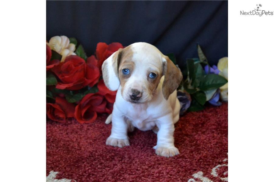 how to raise a dachshund