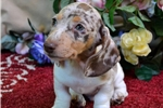 Picture of GORGEOUS AKC CHOCOLATE DAPPLE PIE