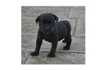 Picture of Staffordshire Bull Terrier Puppy In Virginia