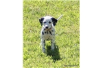 Talla | Puppy at 13 weeks of age for sale