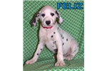 Feliz | Puppy at 12 weeks of age for sale