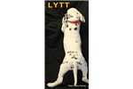 Picture of AKC Lytt
