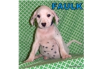 Faulk | Puppy at 12 weeks of age for sale