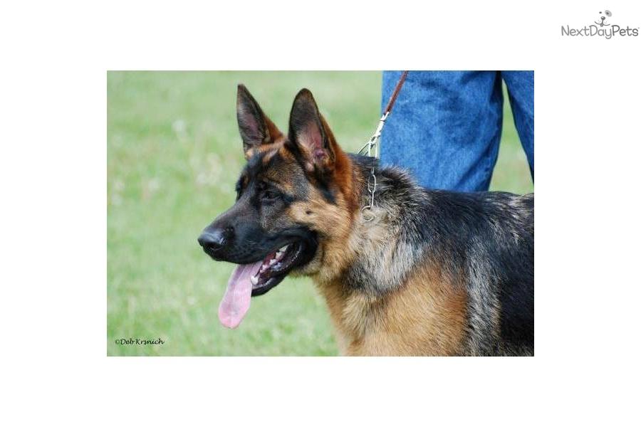 German Shepherd for sale German Shepherd Dog Reviews