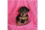Picture of Woodland Welsh Terriers - AKC