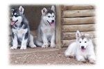 Picture of Holiday puppies