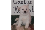 NULA'S WHITE FEMALE #2 - SELL PENDING! | Puppy at 9 weeks of age for sale