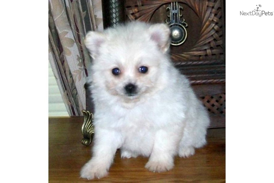 Non Shedding Small Dogs Maltipoo