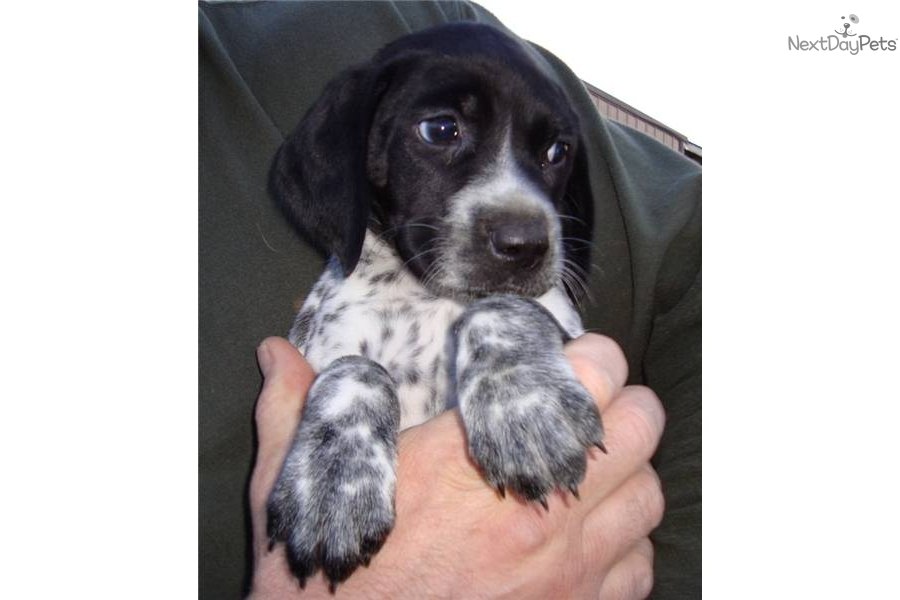 German Shorthaired Pointer - Pictures, posters, news and ...