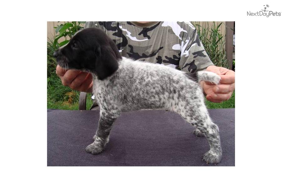 German Shorthaired Pointer puppy for sale near Battle ...
