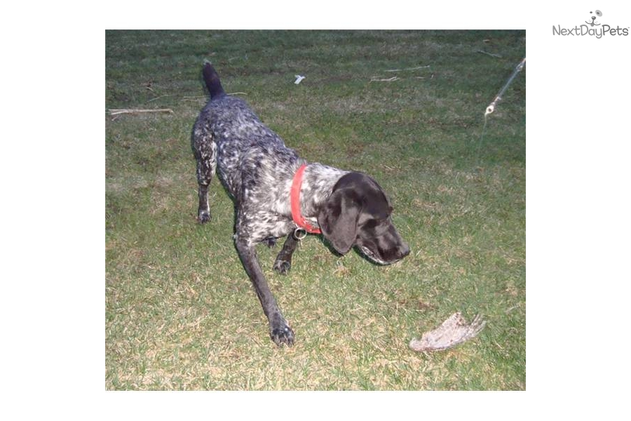 Meet Gracie a cute German Shorthaired Pointer puppy for ...