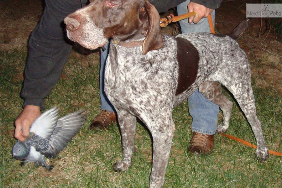 Meet Spotz a cute German Shorthaired Pointer puppy for ...
