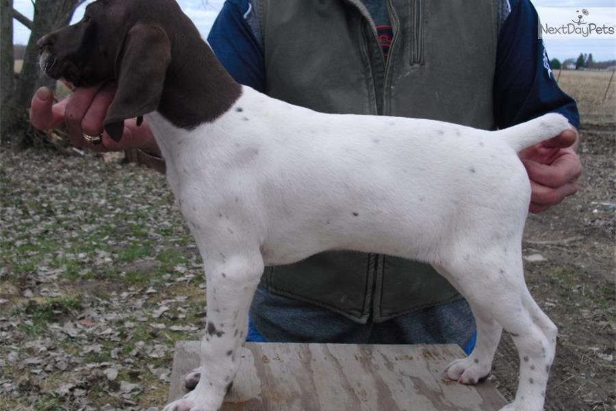 Meet Pearl a cute German Shorthaired Pointer puppy for ...