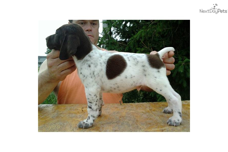 Meet Gump a cute German Shorthaired Pointer puppy for sale ...