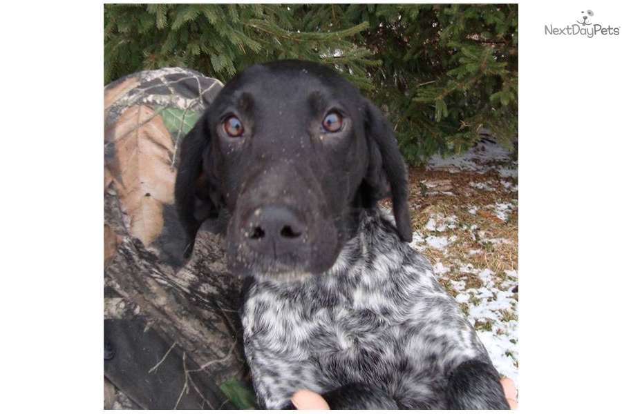 Meet Lacy a cute German Shorthaired Pointer puppy for sale ...