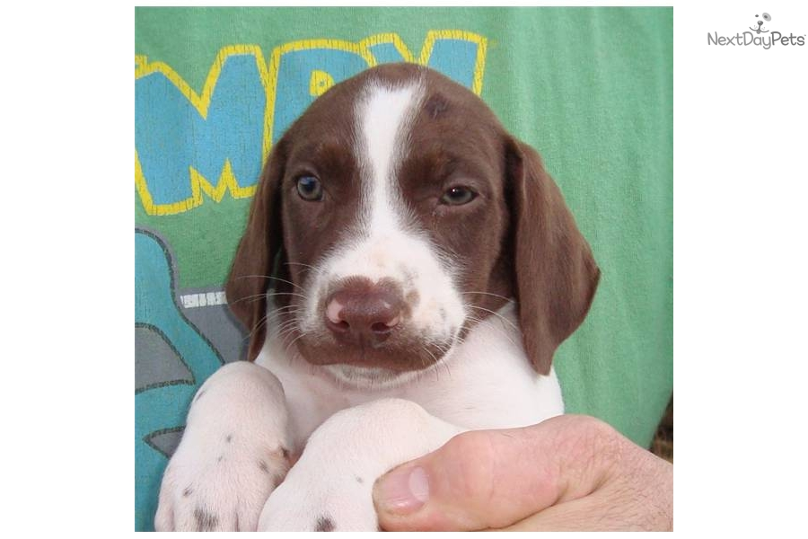 Meet Snow White a cute German Shorthaired Pointer puppy ...