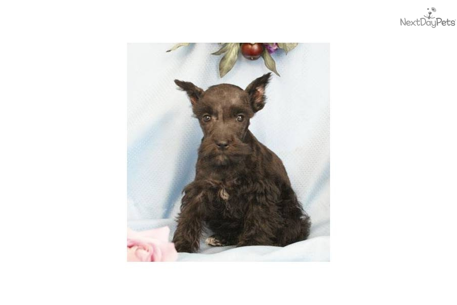 ---registered-miniature-schnauzer-puppydog-schnauzer-miniature-puppy ...