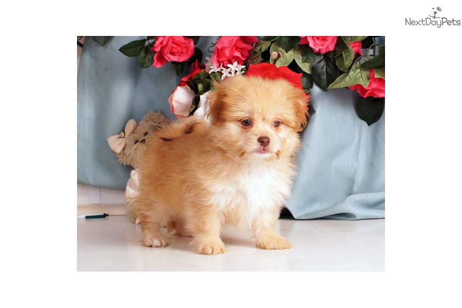 Picture of a Shihpom