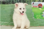 Picture of Beth - American Eskimo Spitz puppy