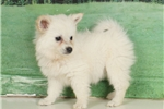 Picture of Bert  - American Eskimo Spitz puppy