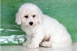 Picture of Courtney - male - Bichon/Poodle