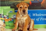 Picture of Pearl 3/4 Shar Pei — 1/4 Puggle