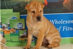 Picture of Peggy 3/4 Shar Pei — 1/4 Puggle