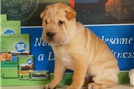 Picture of Patia 3/4 Shar Pei — 1/4 Puggle