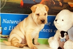 Picture of Pete 3/4 Shar Pei — 1/4 Puggle
