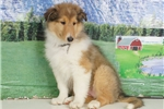 Picture of Lilly - Collie puppy for sale