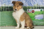 Picture of Lassie - Collie puppy for sale