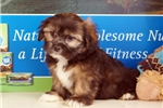 Picture of Milt - Lhasa Apso puppy