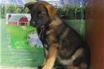 Norwegian Elkhound for sale