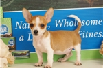 Rat Terriers for sale