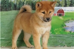 Picture of Barney - Registered Shiba Inu puppy