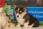 Picture of Amanda - AKC Pembroke Welsh Corgi puppy