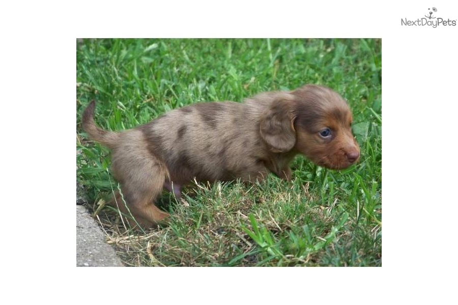... Dapple Puppies Pretoria Dogs And Puppies | Dog Breeds Picture