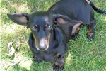 Picture of This is Sylus, he is a smooth black and tan