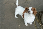 Picture of This is Punky and she is a long hair red piebald