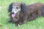 Picture of Teddy is a red long hair brindle mini dachshund