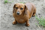 Picture of Madison is a red smooth female (6 yrs)