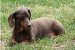 Picture of Cocoa is a Chocolate and tan smooth dachshund